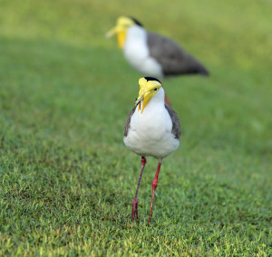 The Masked Lapwing makes its home at Seletar Country Club