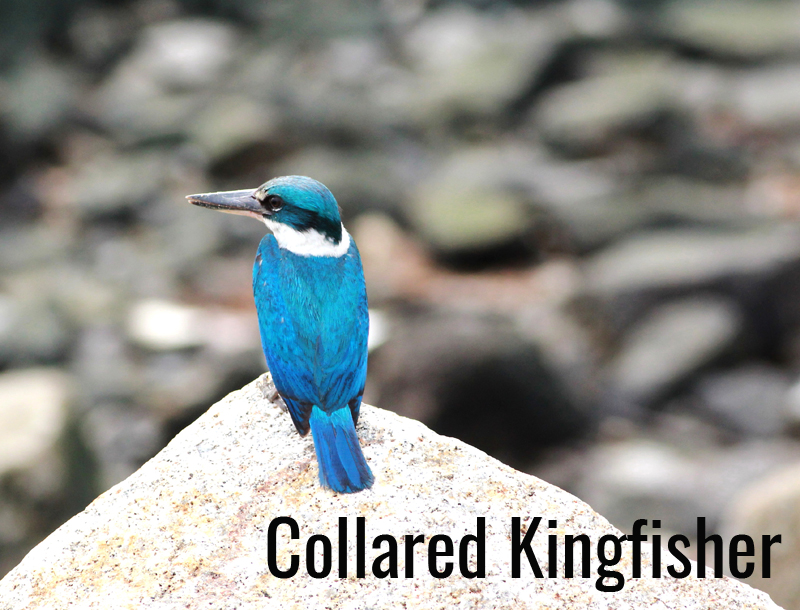 Collared Kingfisher revised