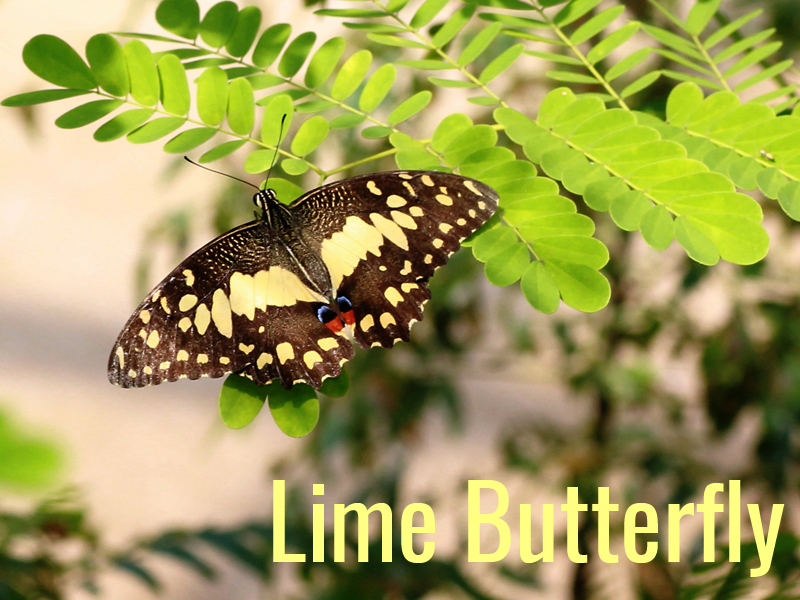 Lime Butterfly 1