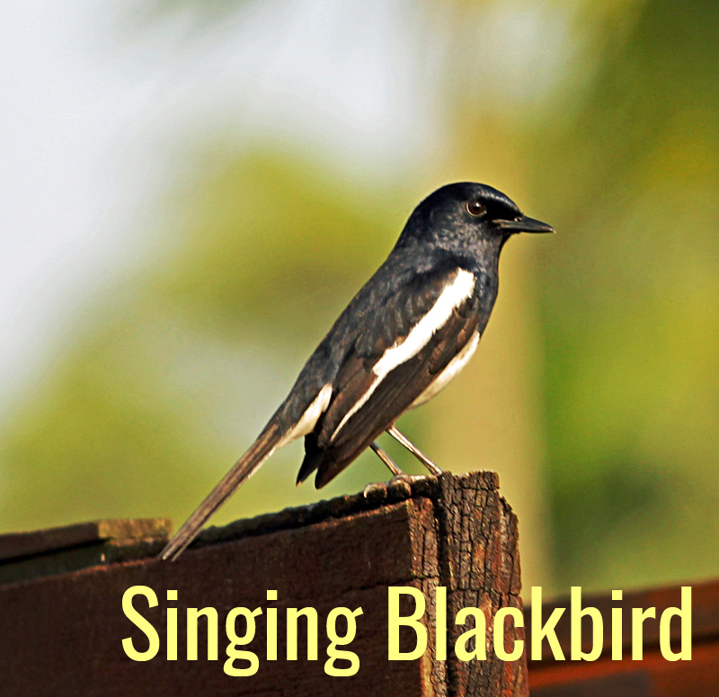 Singing blackbird 1